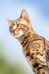 Bengal looking attentive
